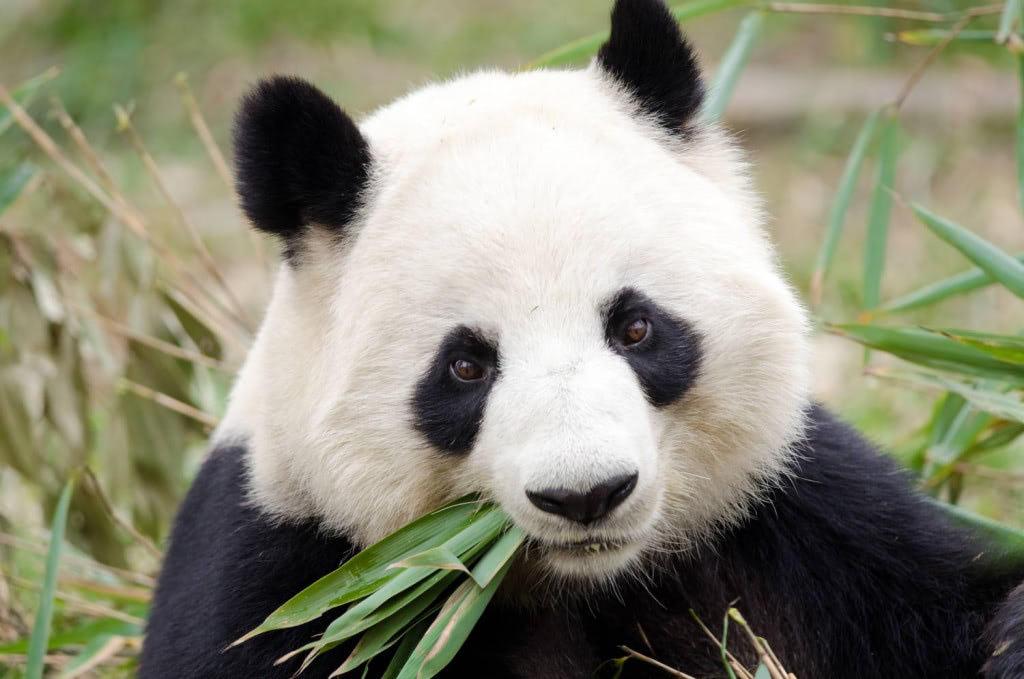 Panda päivitys tulee